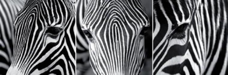 3 dílný obraz Zebry 25x25 cm